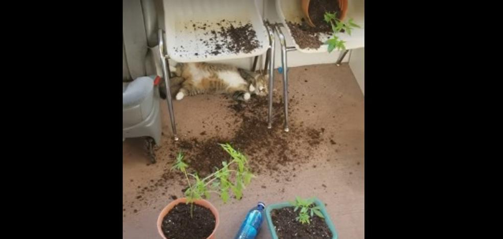 El tremendo 'colocón' de estos gatos tras comerse las plantas de 'maría' de su dueña