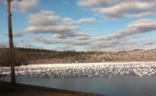 El impresionante momento en el que 10.000 gansos blancos alzan el vuelo