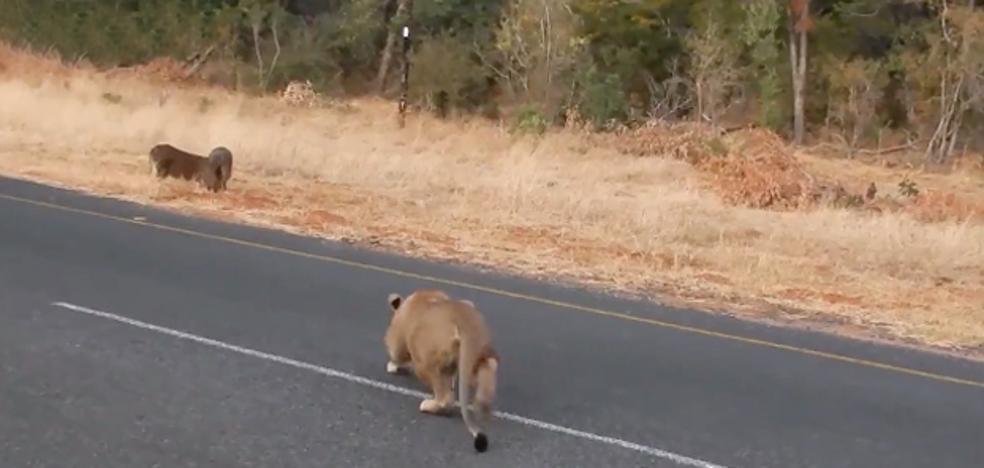 Un turista graba el momento en el que una leona caza a un jabalí a metros de él