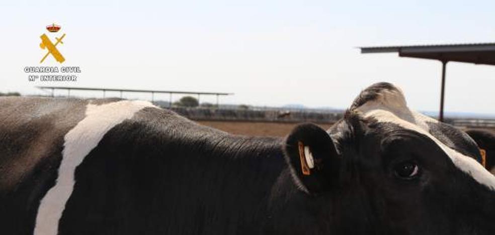 Mutilan a 7.000 vacas lecheras con hierros candentes y gomas elásticas