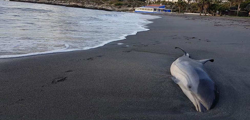 Encuentran un delfín muerto en la playa de Almuñécar