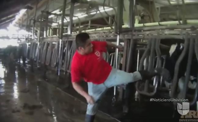 Descubren la brutal tortura a unas vacas en una importante granja de EE.UU.