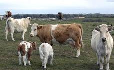 Dos heridos al ser embestidos por una vaca en Lugros y caer uno por un barranco