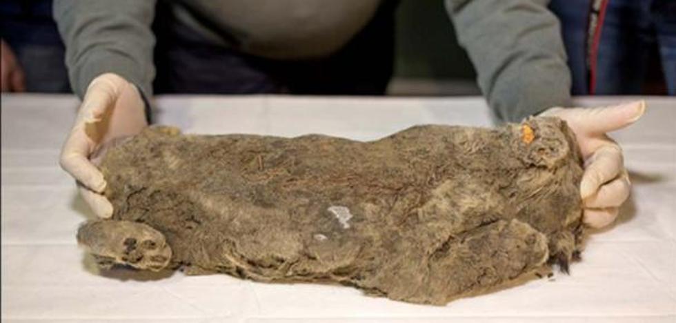 """Encuentran un cachorro de león cavernario de 50.000 años """"perfectamente conservado"""" y quieren clonarlo"""