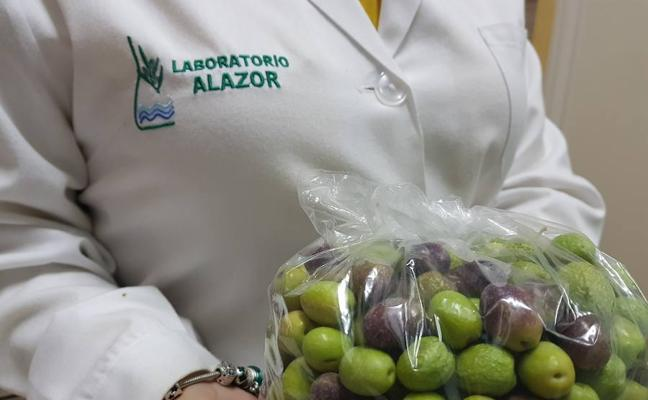 Laboratorio Alazor analiza su aceituna para estimar la rentabilidad de su olivar