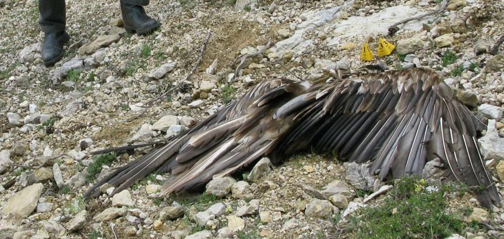 Aparecen muertos 15 buitres leonados e investigan quién los ha envenenado