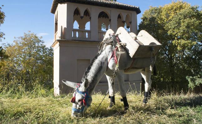 'Manías', el burro obrero de la Alhambra