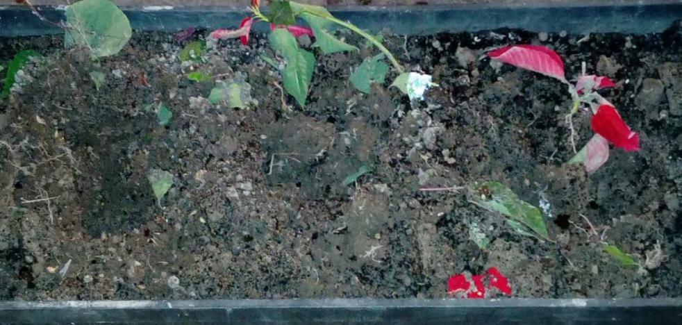 El Ayuntamiento denuncia el robo de las flores de pascua plantadas para engalanar el centro de Jaén