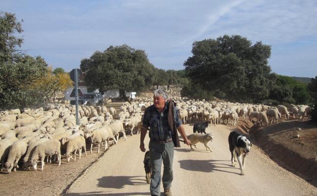 De Guadalaviar a Vilches con 3.000 ovejas y la falta de pastos