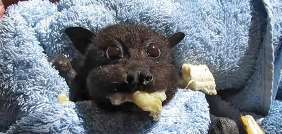 Esta bebé murciélago rescatada tras ser atropellada conquista a la Red