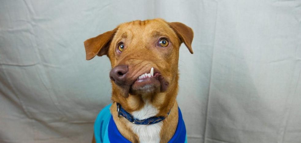 Picasso, el perro con malformaciones que ayuda a personas con discapacidades