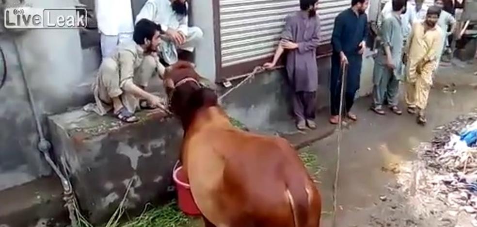El brutal ataque de una vaca a su verdugo cuando se disponía a sacrificarla