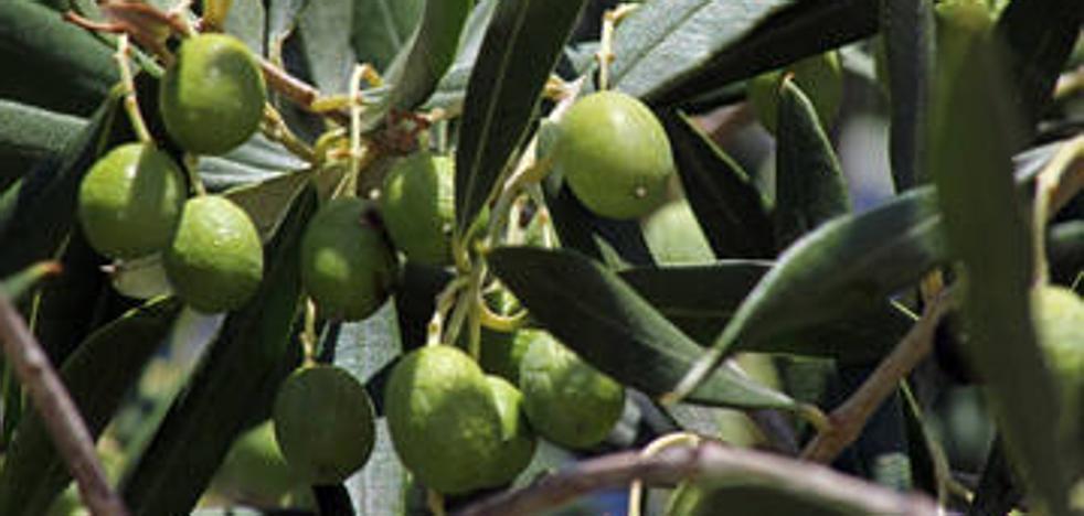 La sequía ha reducido la producción del olivar de secano