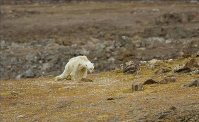 El vídeo de un oso polar moribundo por el calentamiento global impacta a las redes