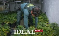 Más de 200 plantas de marihuana incautadas cada día en Granada