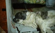 Una mastina lucha por sobrevivir tras ser encontrada en estado crítico en un contenedor