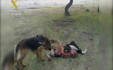 La Guardia Civil detiene a 16 personas por usar venenos para cazar zorros, lobos, conejos y jabalíes