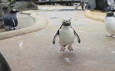 Frank Cuesta se enfurece con este vídeo del pingüino de un zoo