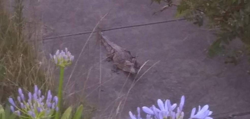 Se encuentran un cocodrilo en el patio de su casa