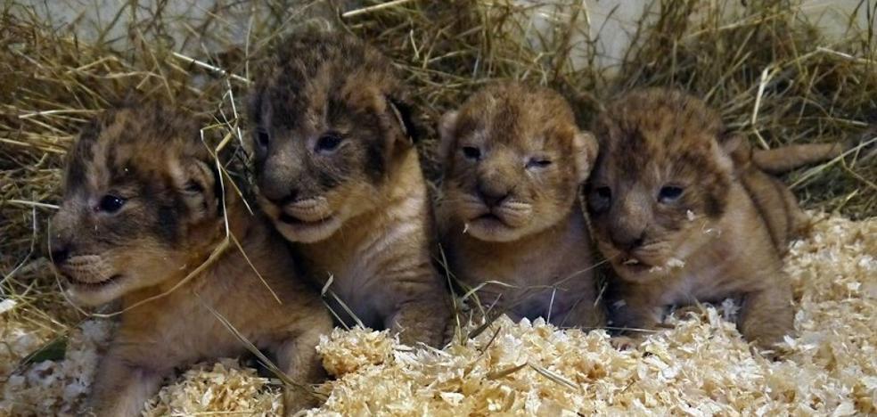 """Sacrifican a 9 cachorros de león por """"no encajar"""" con la manada"""