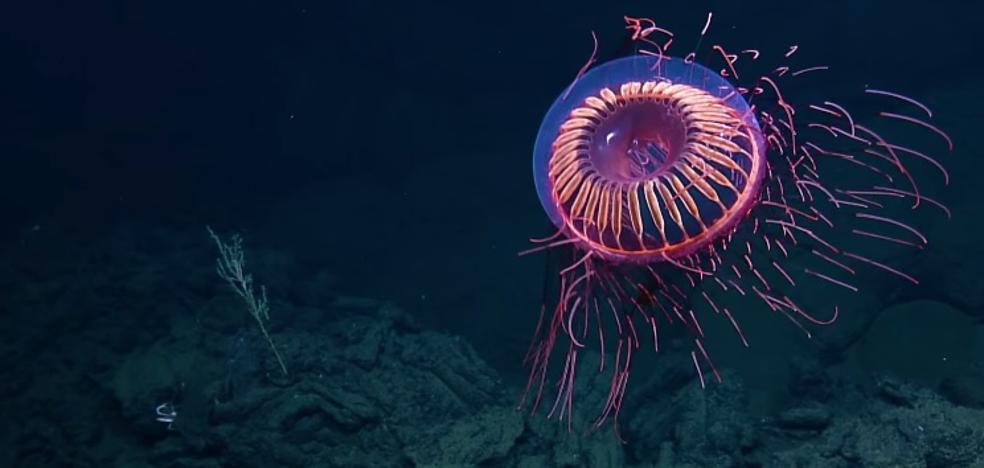 El misterio de la medusa 'extraterrestre' que intriga a todo el mundo
