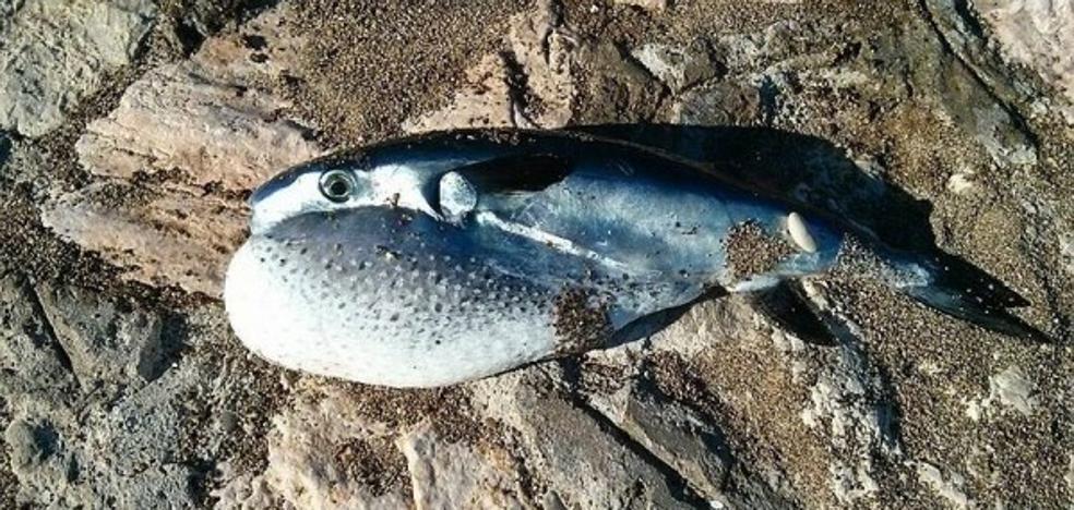 Alerta por la venta de pez globo que podría causar la muerte