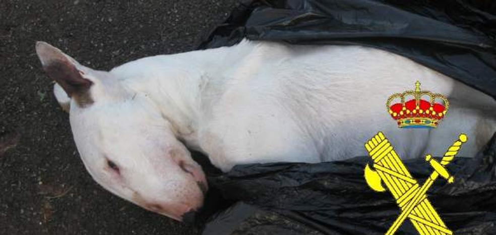 Investigan a un hombre por matar de hambre a un Bull Terrier que había sido robado