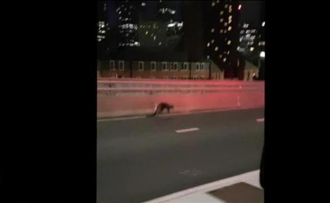 Un bebé canguro causa un gran atasco en Sydney