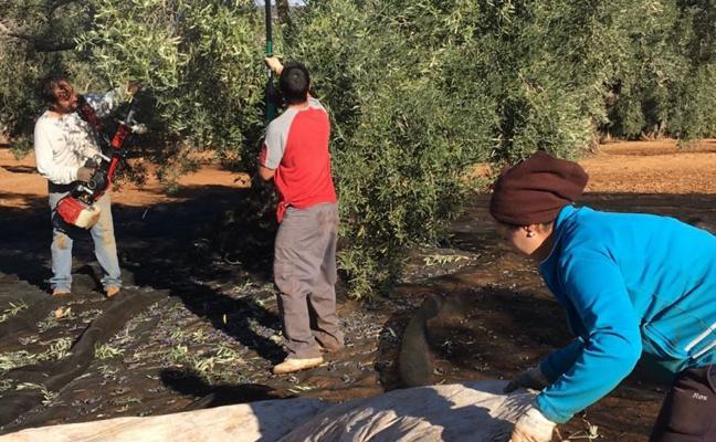La provincia no ha recogido todavía ni la mitad de la cosecha de aceituna