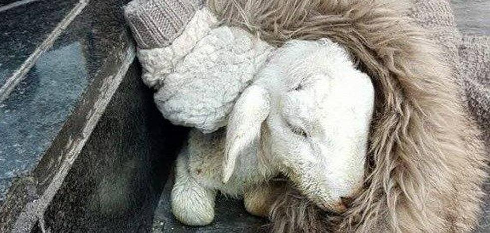 """Fallece una oveja en Linares """"intoxicada de alcohol"""""""