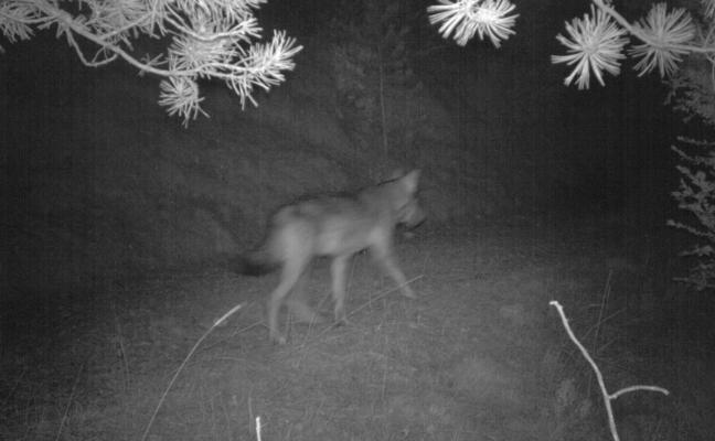 Este es el lobo que está atacando ovejas sin parar en España