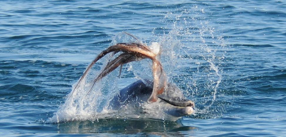 Lo nunca visto en el mar: un pulpo mata por asfixia a un delfin