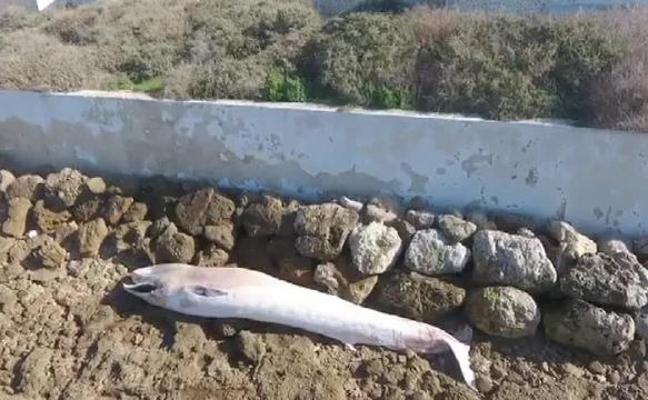 Aparece una ballena muerta en una playa de Cádiz
