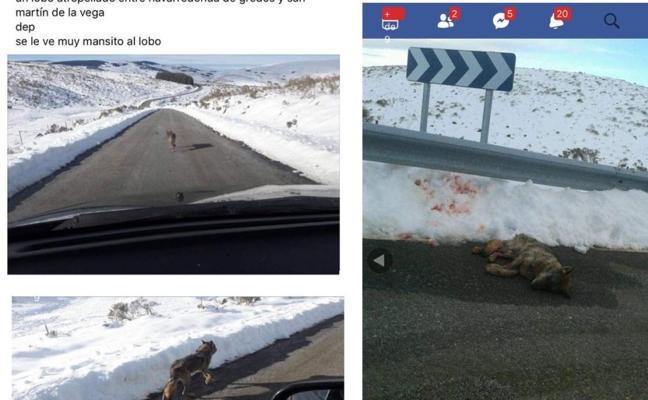 Atropella a un lobo y sube una imagen a Facebook riéndose de ello