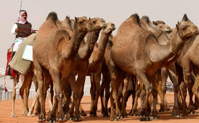 Descalifican a 12 camellos de un concurso de belleza porque sus dueños les implantaron bótox