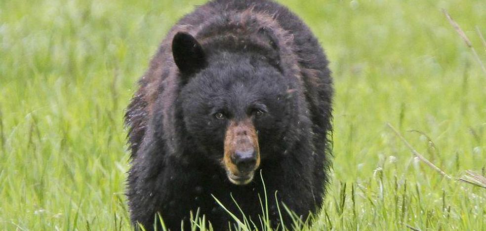 Un niño de 3 años, atacado por el oso que le regalaron sus padres como mascota
