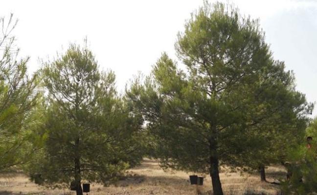 Investigadores determinan la cantidad de nutrientes que aporta al suelo la caída de hojas de pino