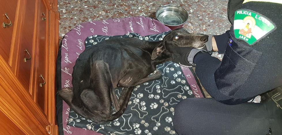 La Policía Local de Jaén rescata a un perro abandonado, famélico y deshidratado en una casa del Gran Eje