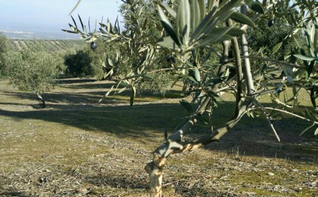 Los conejos se comen los olivos