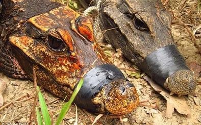 Los misteriosos cocodrilos 'mutantes' que alertan a los científicos