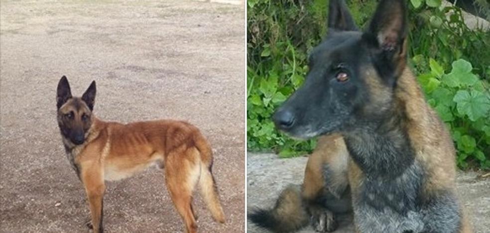 """""""Estamos desesperados"""": ofrece 1.000 euros a quien encuentre a dos de sus perros robados"""