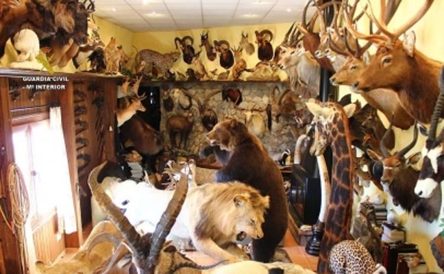 La Guardia Civil atrapa a un hombre por comerciar con 69 trofeos de caza de especies protegidas