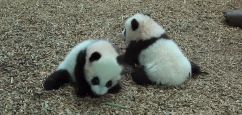 El vídeo de los gemelos panda que da la vuelta al mundo