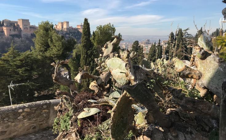 Así están las chumberas de Granada: secas