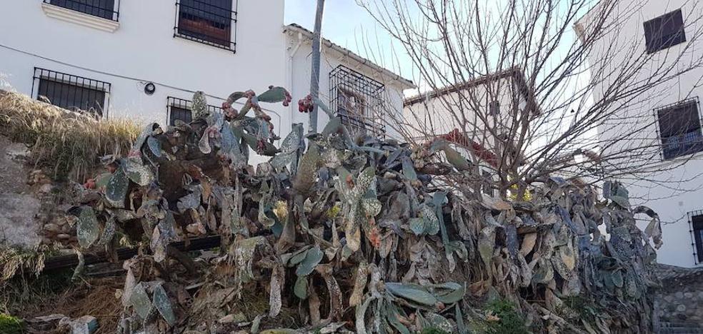Granada pierde sus chumberas