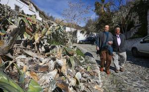 Así es el insecto que destruye las chumberas en Granada