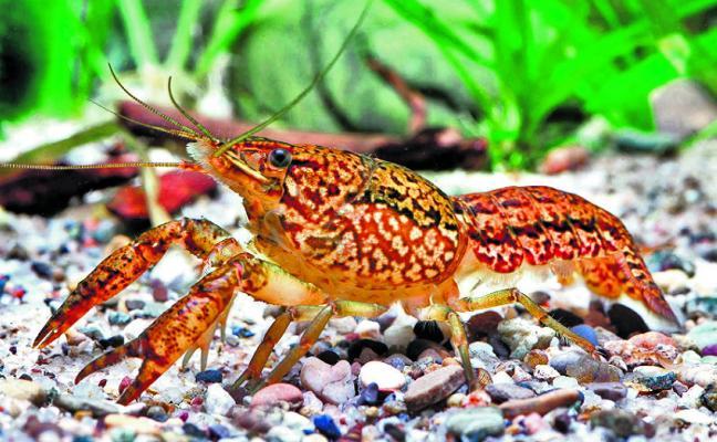 El cangrejo mutante que se clona a sí mismo sorprende a los científicos