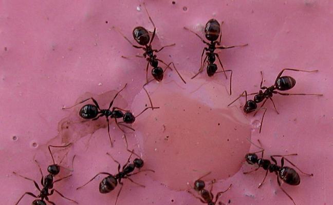 """Descubren un secreto inesperado en las hormigas: """"se lamen sus heridas"""""""