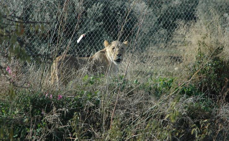 La leona suelta por la A-92