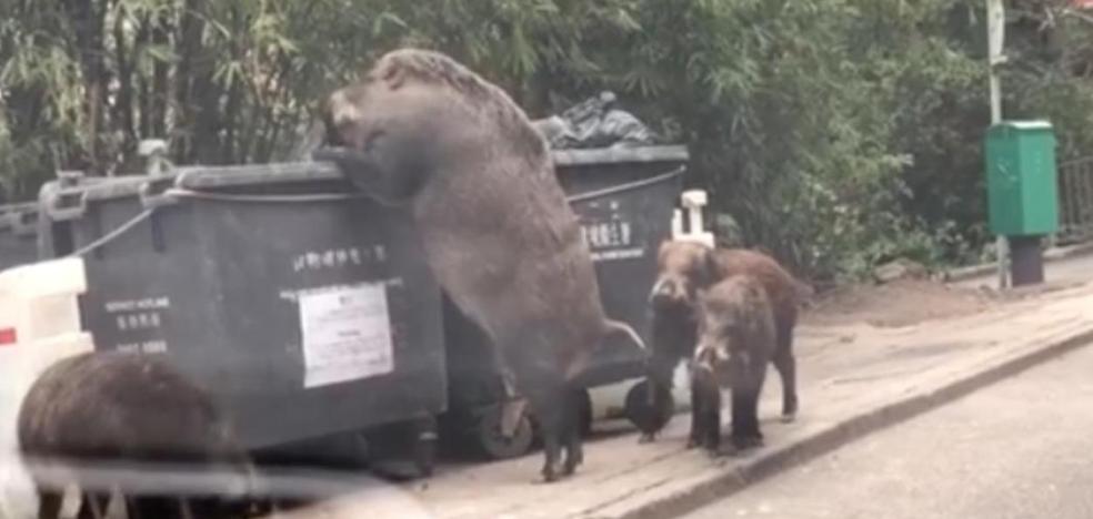 El monstruoso jabalí gigante buscando en la basura que se ha hecho viral